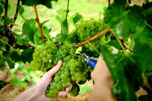 Lovedale Wineries